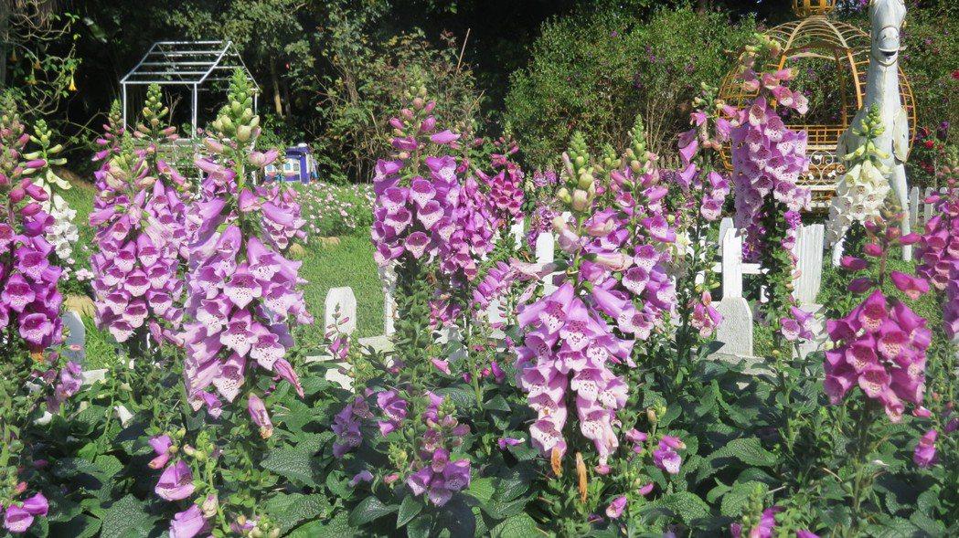 苗栗縣卓蘭鎮花露農場處處可見花卉盛開,讓人心曠神怡。 攝影/記者范榮達