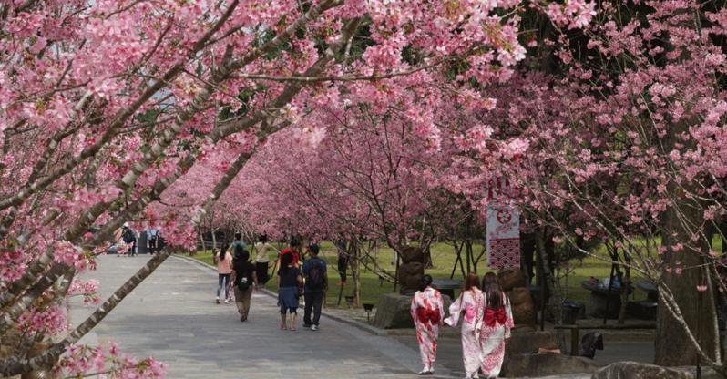 九族櫻花滿開,賞花趁現在。圖/九族文化村提供