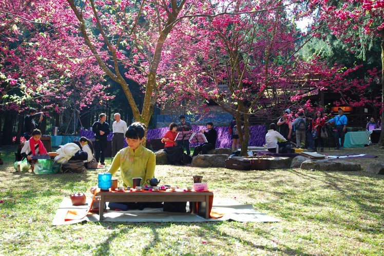九族櫻花開,特有的茶席將在櫻花樹下舉行。圖/九族文化村提供