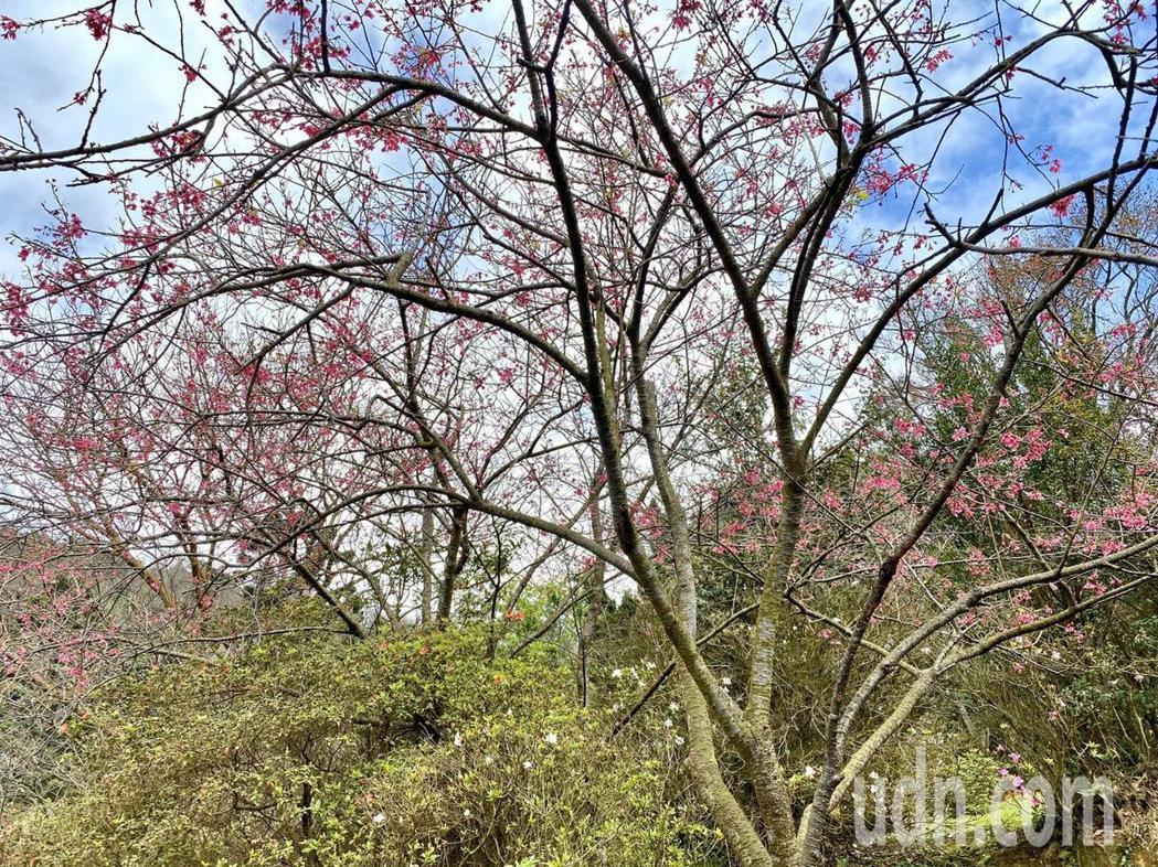 台北市陽明山花季今開幕,活動至3月22日展期共37天,今年主題為「櫻你而在」,現...