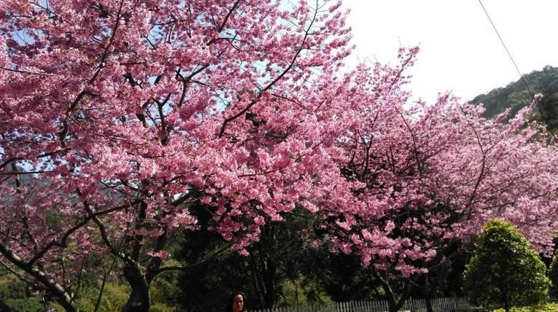 尖石鄉八五山果園的富士櫻綻放中。圖/新樂村村長朱元璋提供