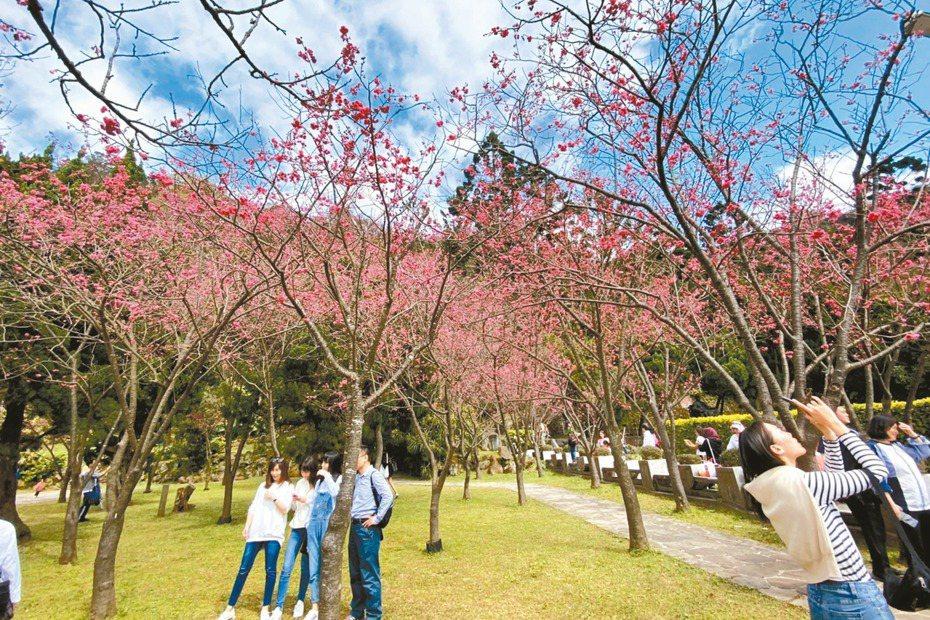 台北市陽明山花季昨天開跑,現正逢台灣山櫻花和八重櫻盛開。 記者魏莨伊/攝影