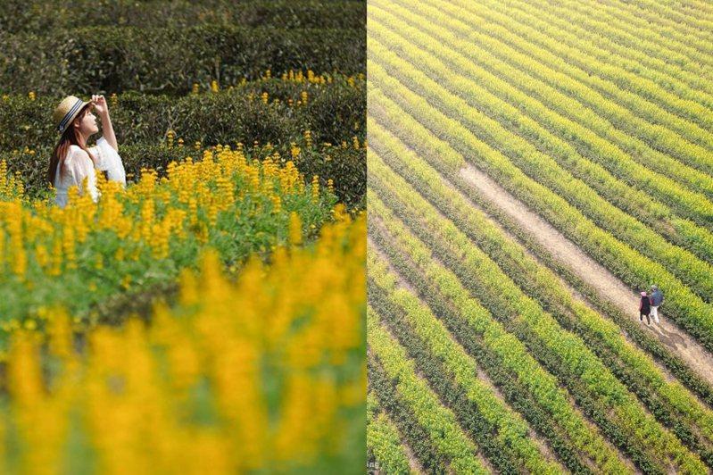 在桃園龍潭(左)和苗栗八甲(右)都能賞到黃油油的花海。圖/IG@vivian06041、@bb211019授權