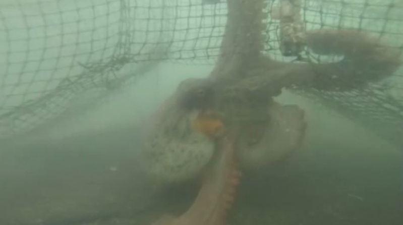 網友Umazra利用在漁網中的GoPro攝影機捕捉海洋動物的身影。圖/NiconicoNews
