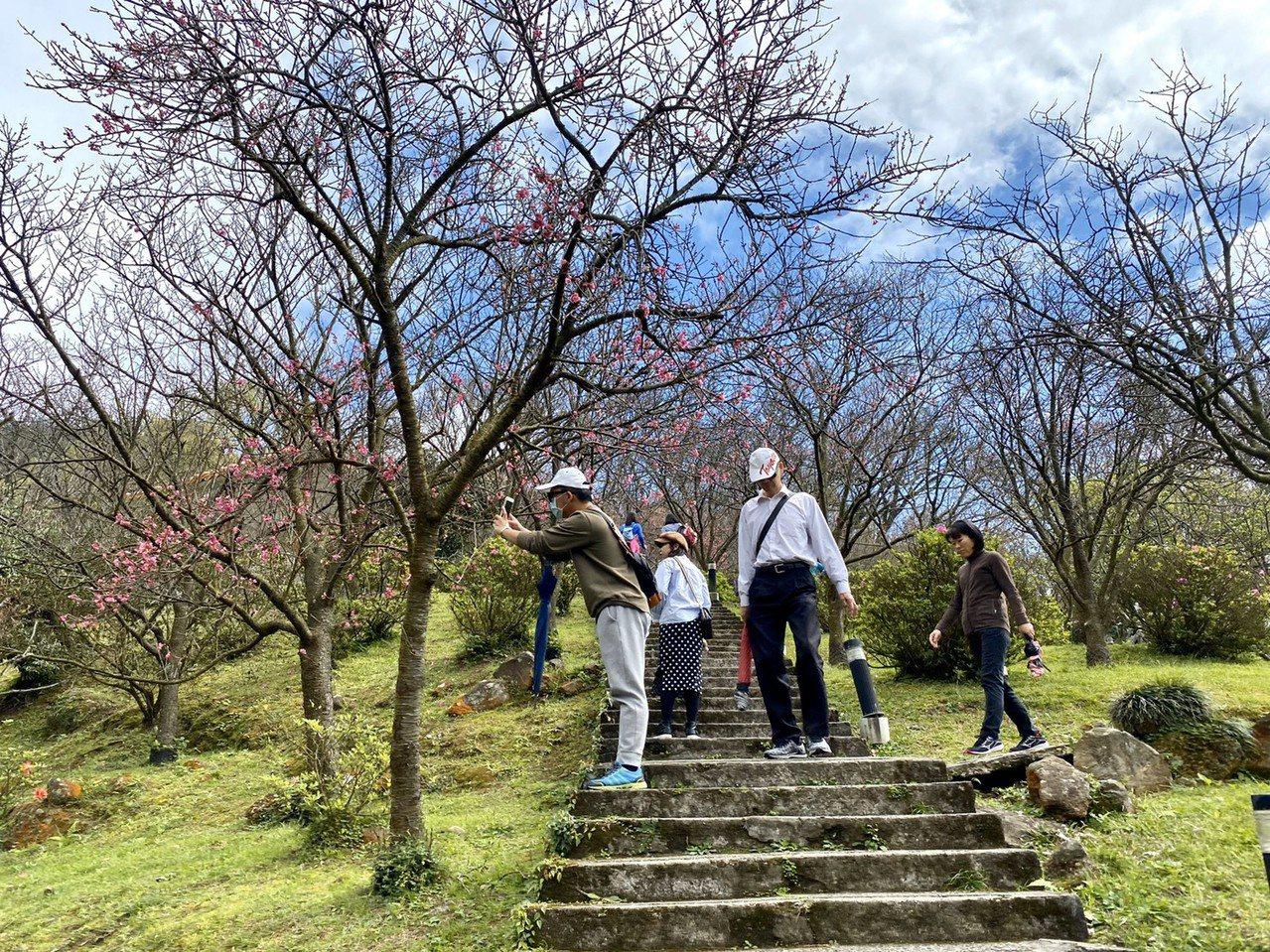 台北市陽明山花季昨天開跑,活動至3月22日展期共37天,今年主題為「櫻你而在」,...