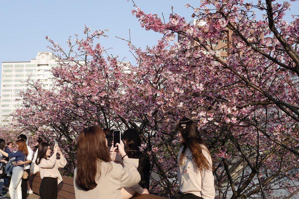 內湖樂活公園 北部 賞櫻 櫻花步道
