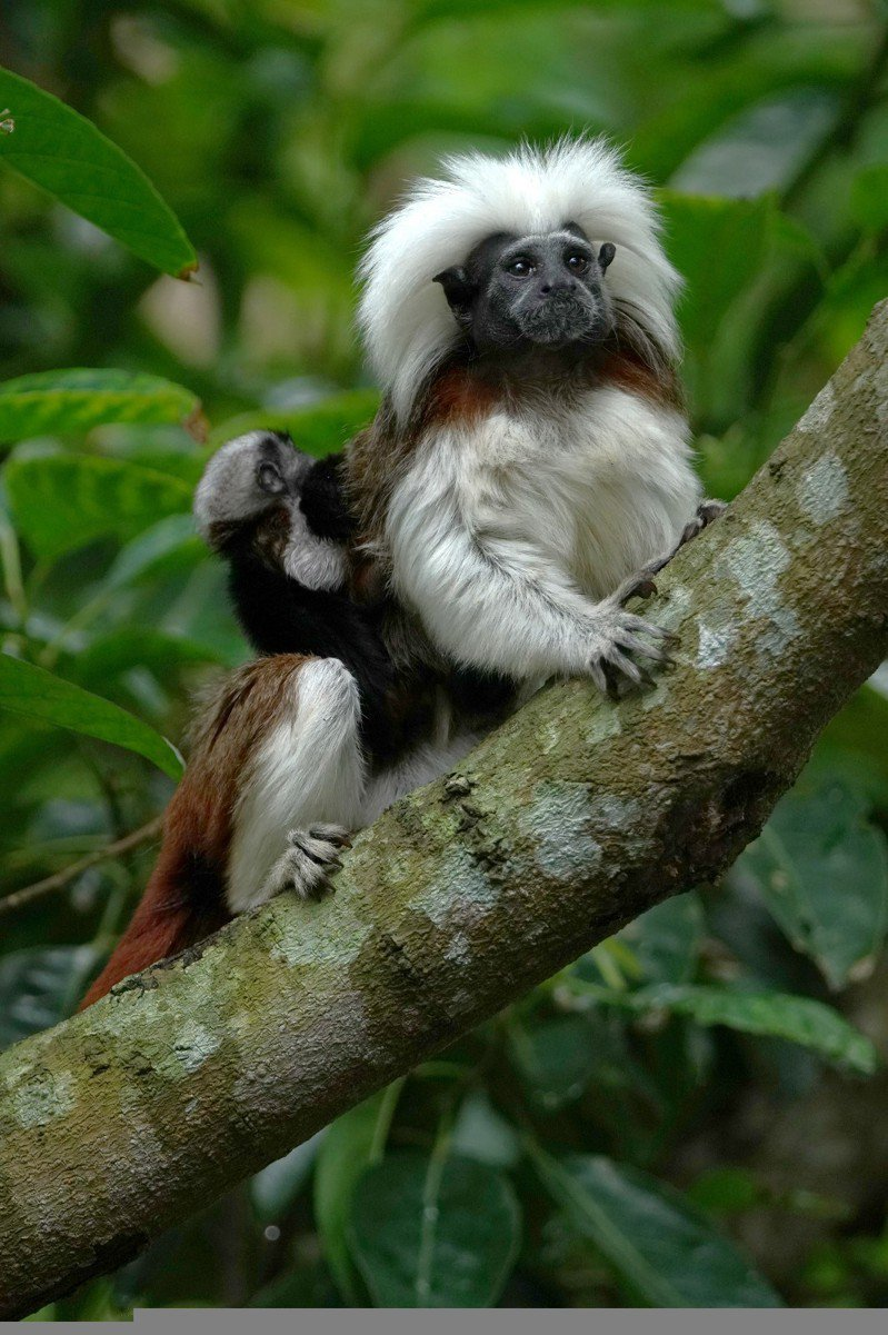 隨著雙胞胎漸漸長大,要一次揹起雙胞胎移動,就成了吃力的負擔。圖/台北市立動物園提供