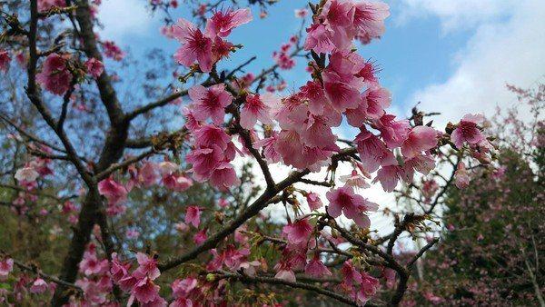 屈尺公園內有數十棵山櫻花,目前已經開滿8成。圖/新北市景觀處提供
