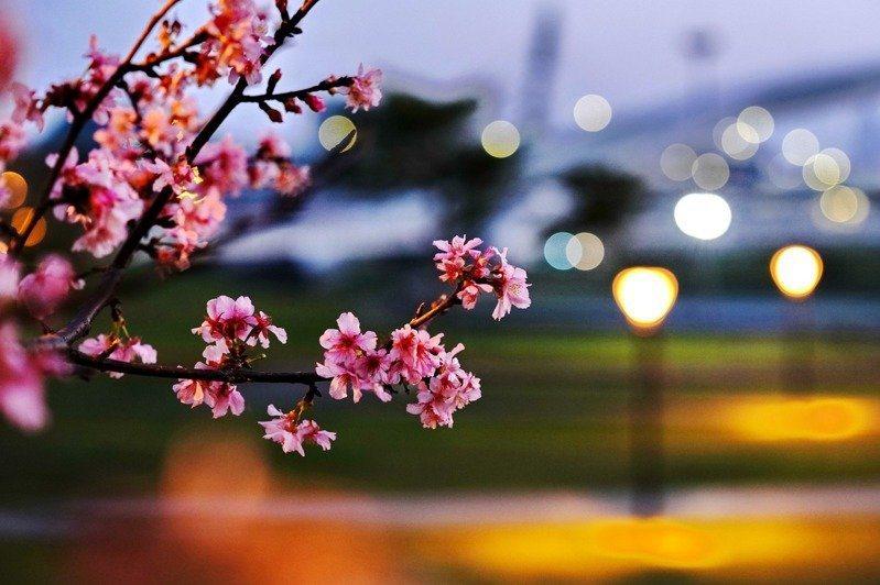 河津櫻從早到晚的各有迷人之處。圖/新北市高管處提供