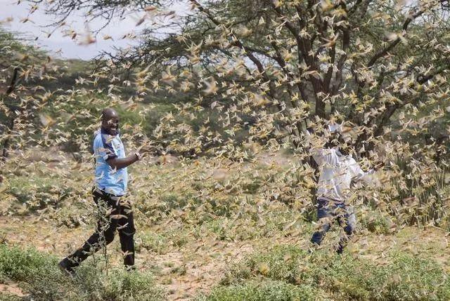 最近的非洲蝗蟲已嚴重威脅到非洲一帶的糧食安全。(今日頭條)
