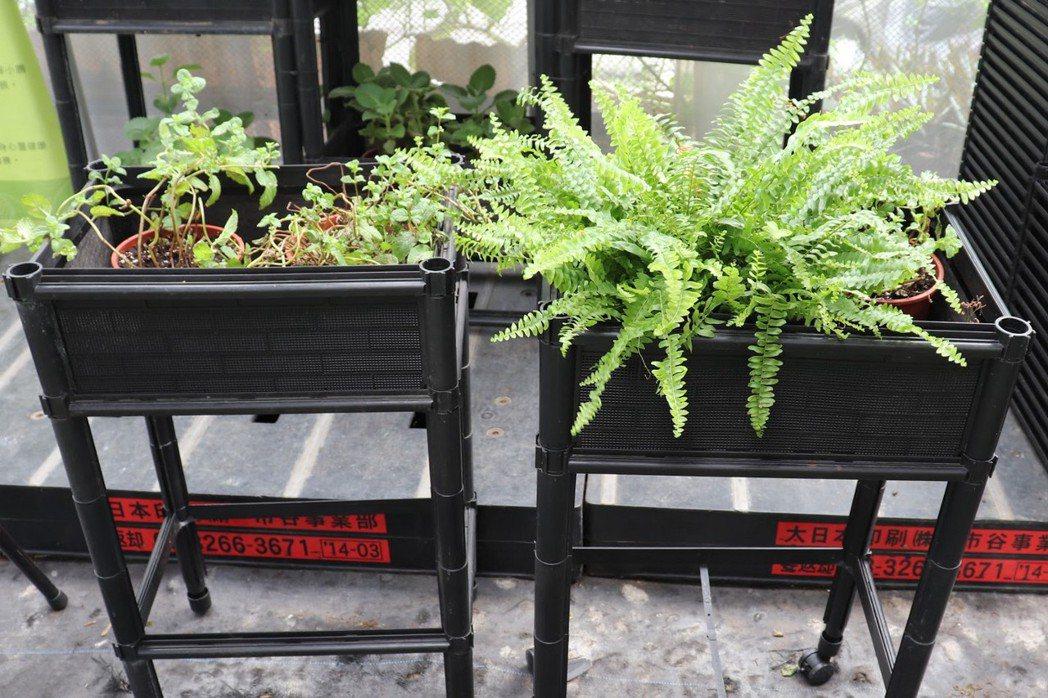 將透氣的籃耕箱架高,讓耕作者不必彎腰蹲地就可輕鬆耕作。  圖/徐菁攝影