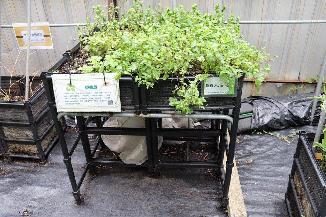 格子田架高六十五公分,方便坐輪椅者種植蔬菜。  圖/徐菁攝影