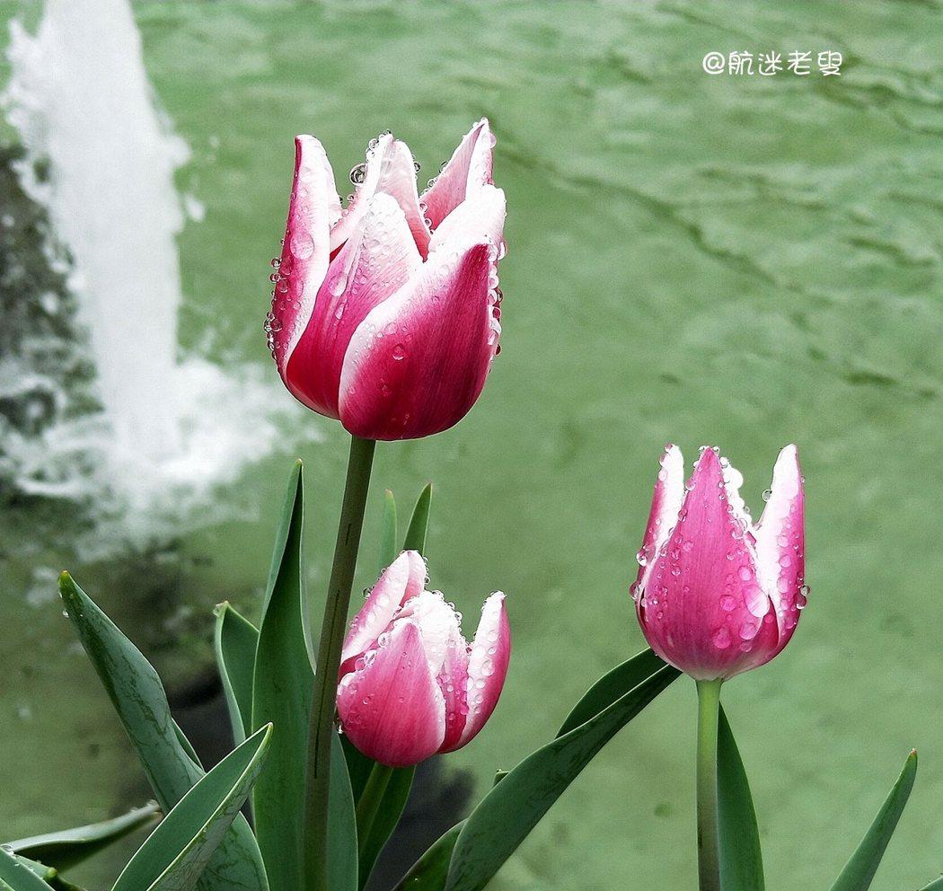 台北/士林官邸鬱金香 春季花卉焦點