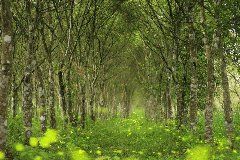 花蓮林區管理處依長期生態監測結果,預測大農大富今年的螢光會提早現身,賞螢季活動將提前至2月27日開始。圖/花蓮林管處提供