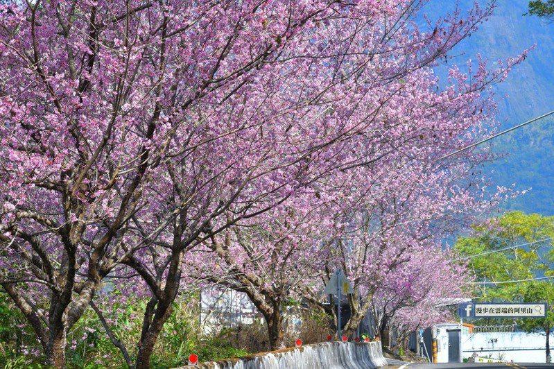 嘉義縣阿里山國家風景區149甲縣道太和橋和梅嶺橋之間的椿寒櫻已滿開,本周為最佳賞櫻期。圖/黃源明提供