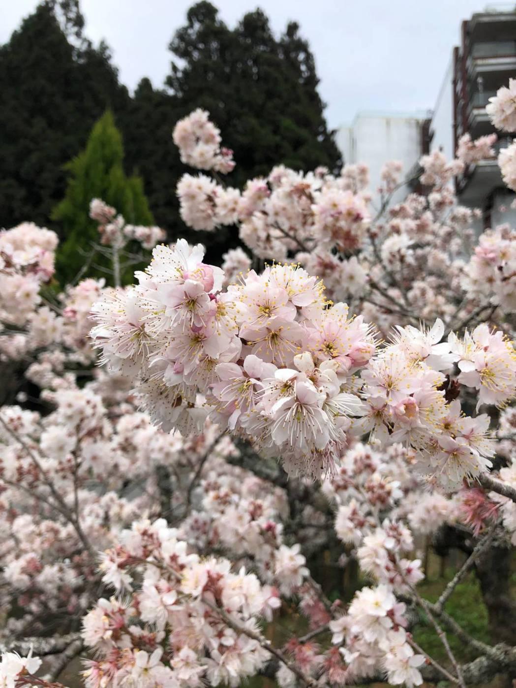 阿里山花季將於3月10日展開,並持續至4月10日,交通部公路總局與相關單位將於花...