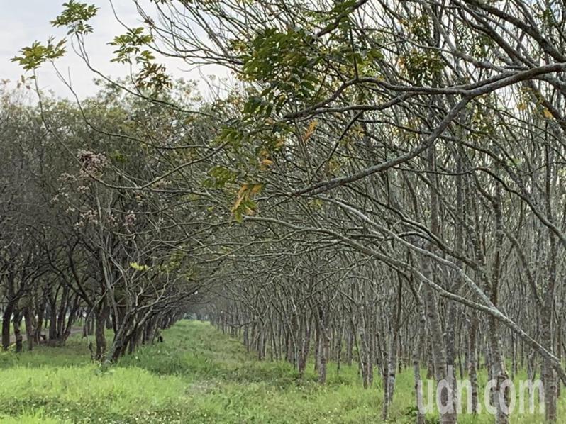 屏東縣萬巒鄉沿山公路兩側的台糖農地種植了大片樹林,如今綠樹成林,已達砍伐年限,台糖計畫推動「農電共生」,但是砍樹種電的作法遭到地方質疑。記者翁禎霞/攝影