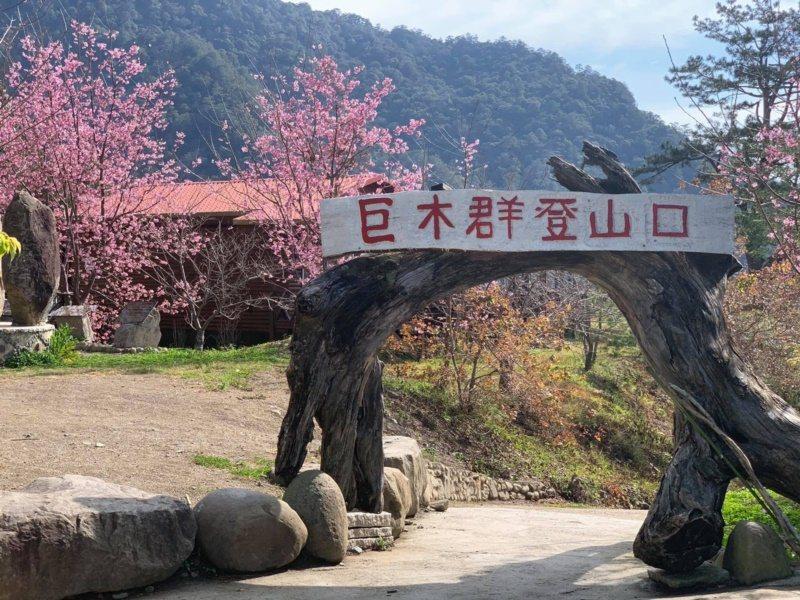 新竹縣尖石鄉司馬庫斯部落迦南停車場巨木群登山口,櫻花也綻放中。 圖/讀者提供