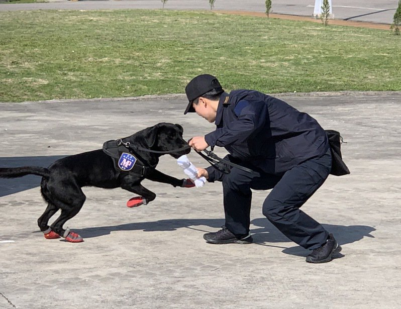 憲兵聰慧的拉布拉多緝毒犬能偵測出安非他命、K他命與古柯鹼。而當緝毒犬在部隊裡咬著白毛巾興奮地四足舞蹈時,就代表在軍內查獲毒品。記者洪哲政/攝影
