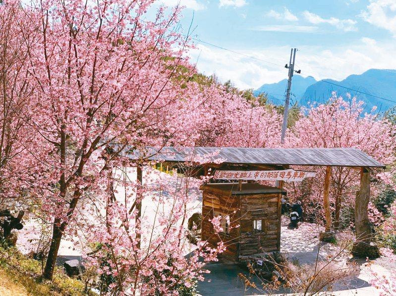 新竹縣尖石鄉後山的司馬庫斯部落,遍植超過2000株櫻花,其中最大宗的昭和櫻,已經開始怒放。 圖/讀者提供