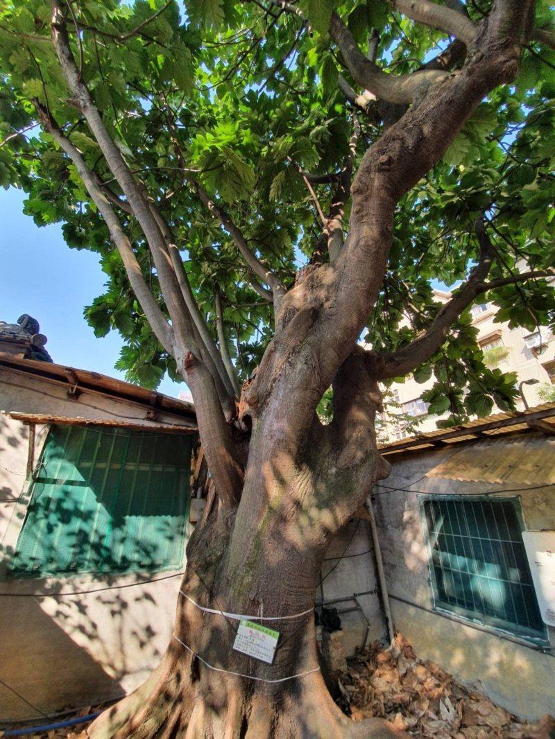 台灣大學公共宿舍,前身是日本海軍軍官招待所,老樹圍繞。 圖/楊正海 攝影