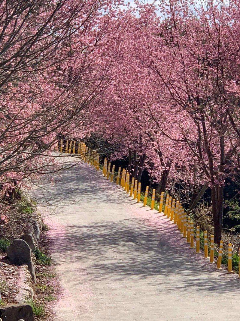 遊客一抵達司馬庫斯部落就可看到入口兩旁的粉紅色櫻花皆已盛開。 圖/讀者提供