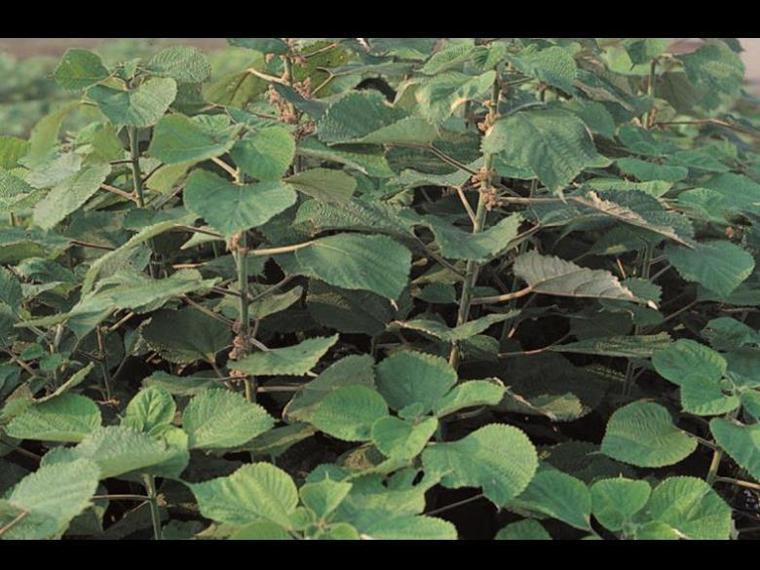 苧麻。(圖片來源:台灣常用藥用植物圖鑑資料庫)
