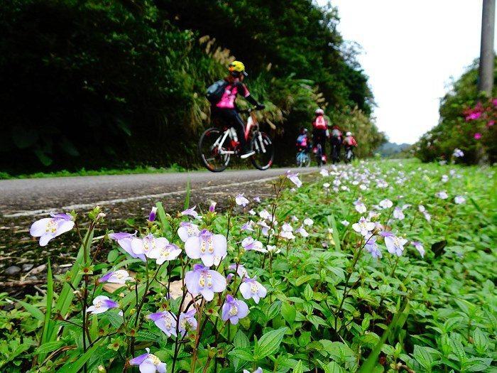 除了櫻花,通泉草野花也是今年的賞花重點