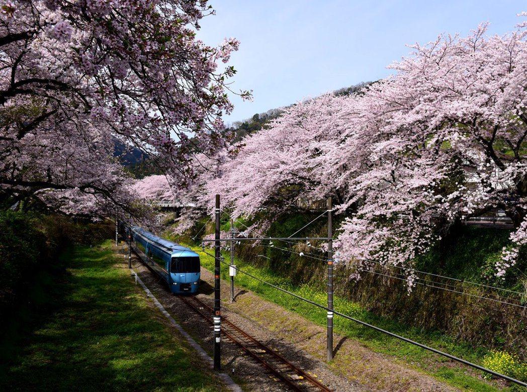 3月起進入日本賞櫻旺季,無奈疫情衝擊團量。圖/日本神奈川縣觀光推廣提供