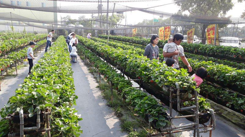 不受肺炎疫情影響,台南善化觀光草莓園遊客絡繹不絕。記者周宗禎/攝影