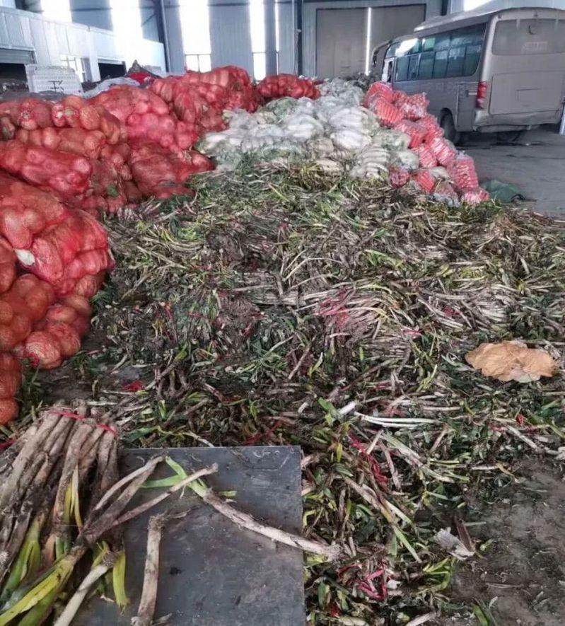 堆在地上的大蔥以大量腐壞。新京報