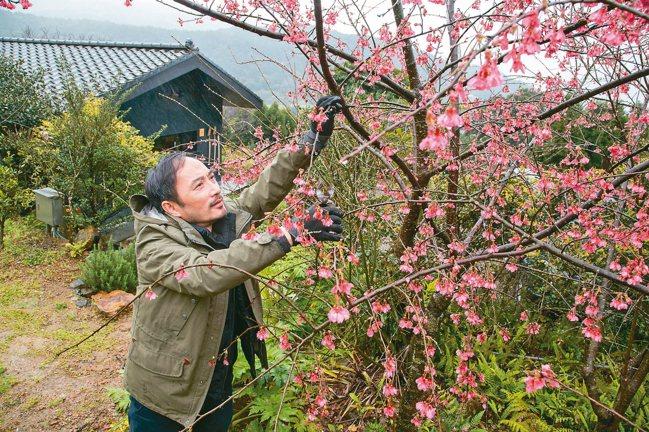 凌宗湧到園裡剪一枝櫻。 陳立凱/攝影