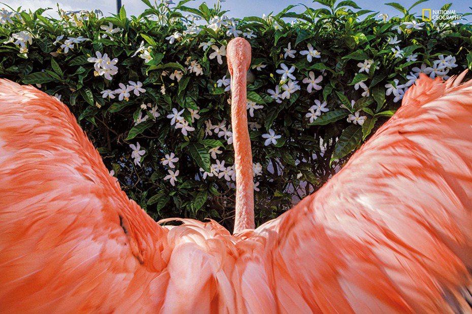 游完泳後,紅鶴鮑伯伸展牠的翅膀。2016年,牠撞上古拉索一家飯店的窗戶,導致牠腦震盪並且傷 了左邊的翅膀。這些傷以及其他傷害使牠無法重返野外。牠現在和救了牠的獸醫歐黛特.杜斯特住在一起。 亞斯博. 杜斯特 J A S P E R D O E S T