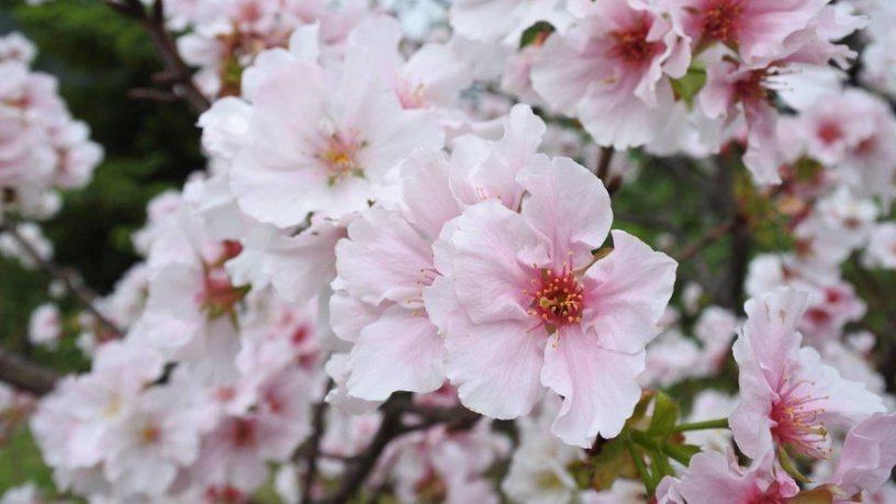 從2月中旬到3月中旬間,陸續有八重櫻、昭和櫻以及吉野櫻盛開。圖/摘自陽明山花季粉...