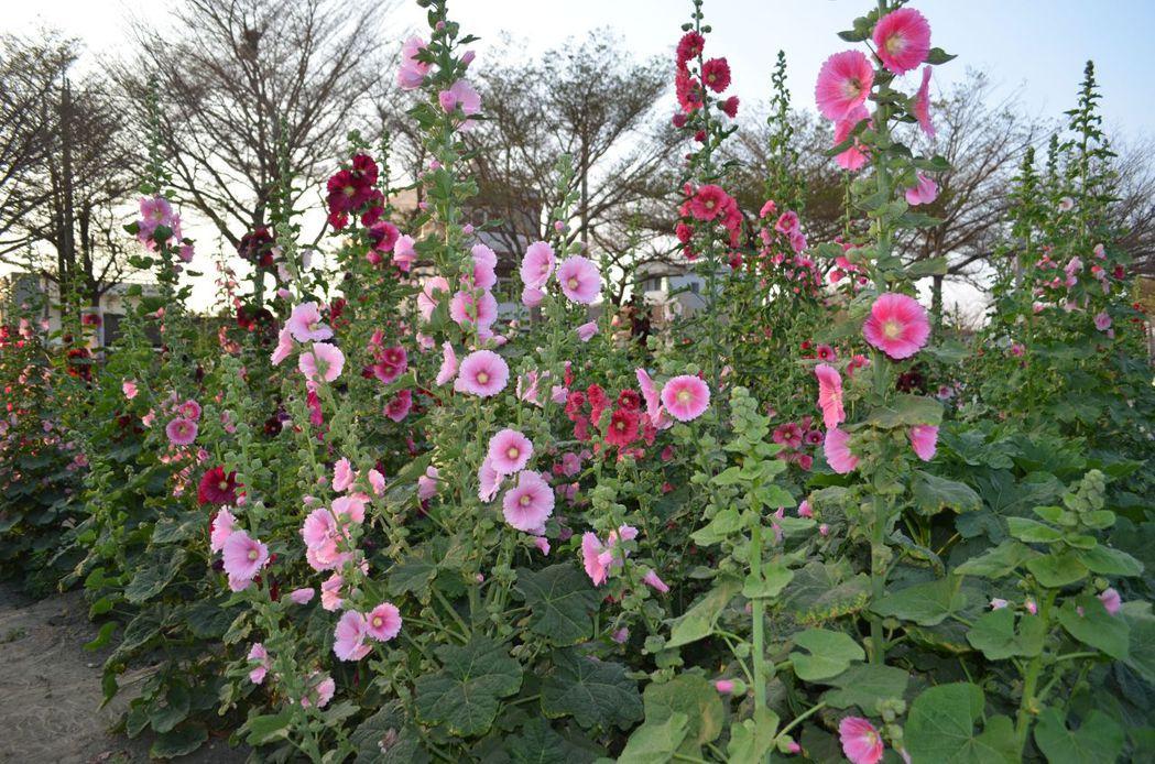 蜀葵花在春風中展奇葩。  陳慧明 攝影