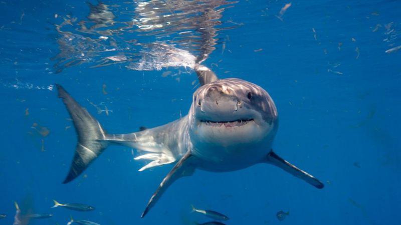 環境保護科學家達菲從衝浪板的咬痕判斷,認為攻擊米諾格的可能是體型較小的大白鯊。圖/擷自香港01資料照
