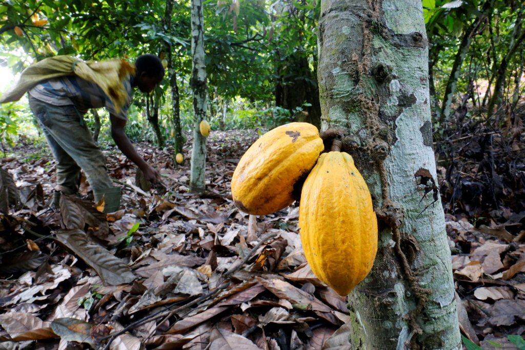 公平貿易組織呼籲提高可可農收入。路透