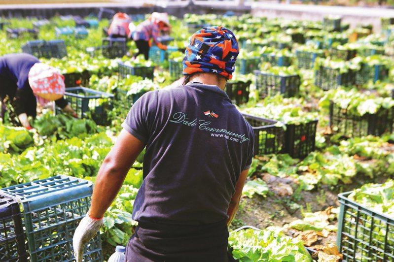 勞動部昨通過農業移工名額再增加一千六百人,並擴大適用類別。 圖/聯合報系資料照片