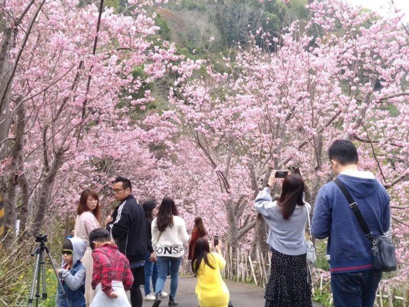 中巴陵櫻木花道是北橫熱門景點之一。 圖/桃園市政府風景管理處提供