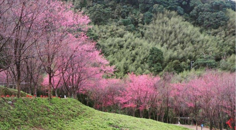 翠墨山莊是新的賞櫻景點,約3公頃櫻花山林美不勝收。 圖/翠墨山莊提供
