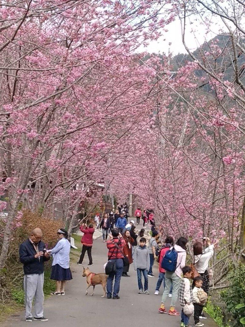 中巴陵櫻木花道假日賞櫻、美拍的人潮不斷。 圖/桃園市政府風景管理處提供