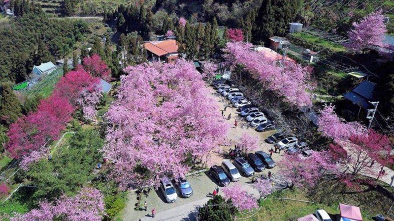 恩愛農場3月中下旬前櫻花盛開。 圖/桃園市政府觀光旅遊局提供
