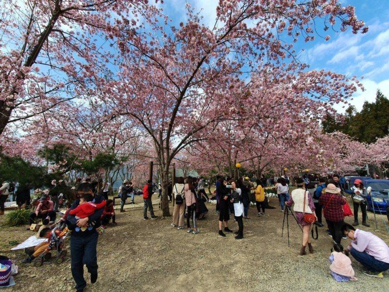 恩愛農場停車場就是成群高大的櫻花。 圖/桃園市政府風景管理處提供
