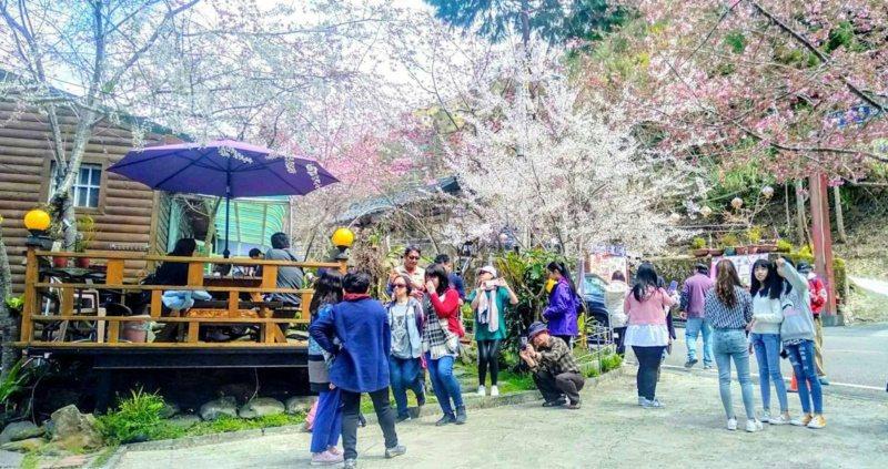 桃園市復興區的農場櫻花正盛開,假日拍照賞景人潮不斷。 圖/桃園市政府觀光旅遊局提...