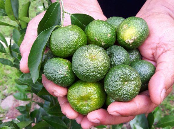 台灣原生香檬擁有豐富營養素,在日本等地造成搶購風潮。 台灣好田/提供