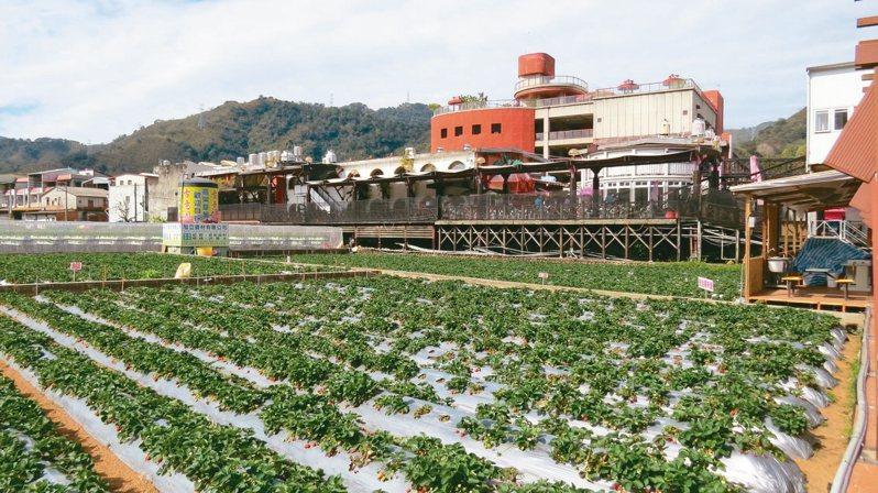 苗栗區農業改場輔導推廣大湖鄉草莓有害生物綜合管理(IPM),希望逐步擴大面積。 記者范榮達/攝影