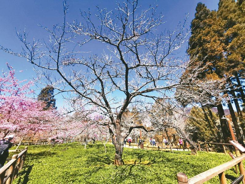 阿里山森林遊樂區工作站前的櫻王(見圖),預定下月中旬開花。 記者卜敏正/攝影