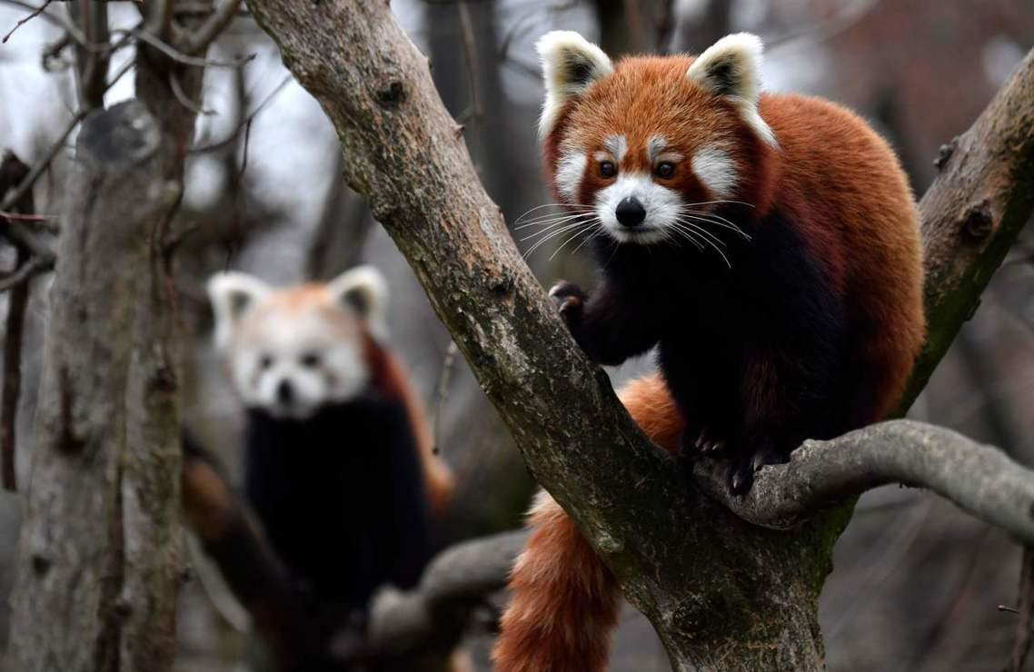 把「中華小熊貓」(前)與「喜瑪拉雅小熊貓」(後)混養的德國柏林動物園。 圖/法新...