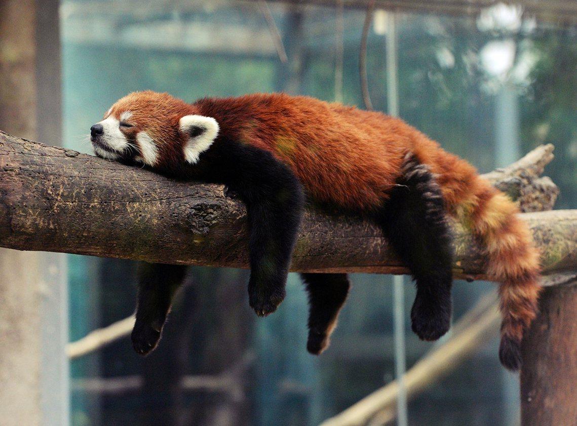 北京動物園裡的「中華小熊貓」。 圖/法新社