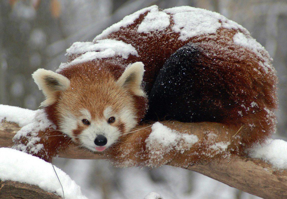 美國紐約布朗動物園的「喜馬拉雅小熊貓」。 圖/美聯社